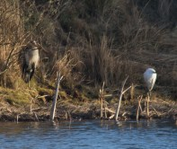 008 Heron and Little Egret_edited-2