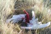 012 Swan Carcass_edited-2
