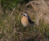 003 Wheatear_edited-2