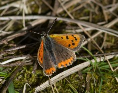 006 Small Copper_edited-2
