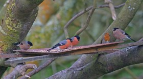 008 Bullfinch 2 male 2 female_edited-2
