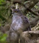 019 Sparrow Hawk at Gillies_edited-2