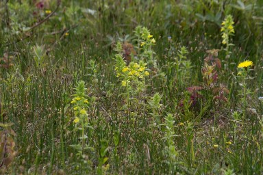 001 Yellow Bartsia long pond_edited-2