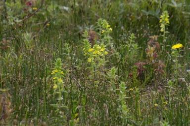 001 Yellow Bartsia long pond_edited-2
