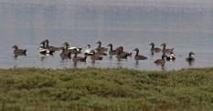 011 Flock of Eider Duck_edited-2