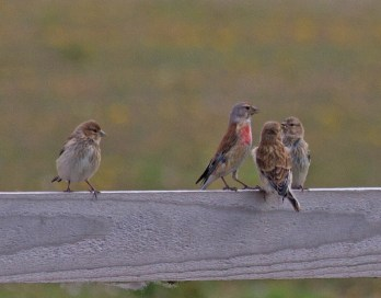 015 Family of linnets_edited-4