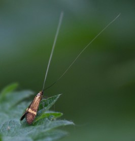 017 Longhorn Moth_edited-2