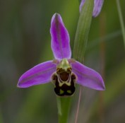 020 Bee Orchid_edited-2