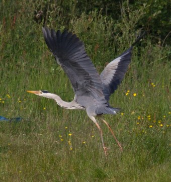 023 Heron lifting Off_edited-2