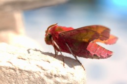009 Small Elephant Hawkmoth_edited-2