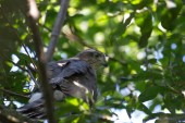 025 Young Sparrow Hawk 26th July 2015_edited-2