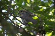031 Young Sparrow Hawk 26th July 2015_edited-2