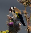071 Goldfinch on thistle_edited-2
