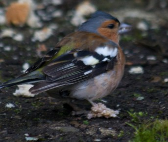 001 Chaffinch with bad leg_edited-2