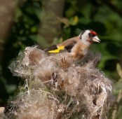 007 Goldfinch on Thistle_edited-2