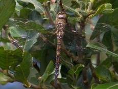 013 Migrant Hawker_edited-2