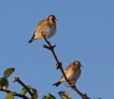 009 Goldfinch on branch_edited-2