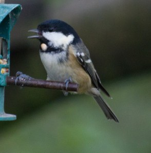 006 Coal Tit discarding seed edt 1
