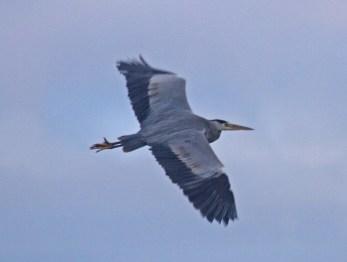 IMG_1361 Heron over long pond