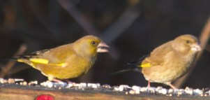 IMG_1374 Two Greenfinch at feeders 1