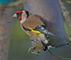 IMG_1489 Goldfinch on niger seed