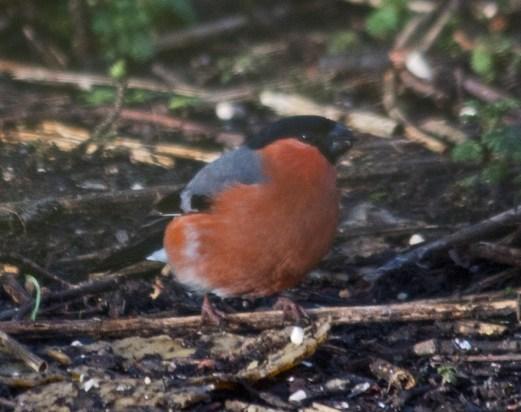 IMG_1492 Male Bullfinch at feeders