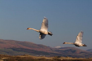 IMG_1497 Swans flying with hills in background