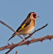 IMG_1553 Goldfinch