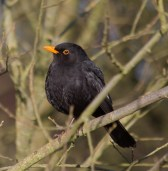 IMG_1560 Male Blackbird