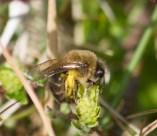 IMG_1690 Worker Bee collecting Pollen edit