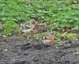 P1010811 Brambling and Chaffinch