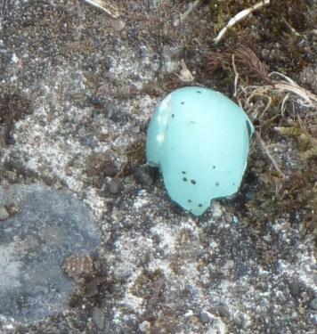 P1010831 Songthrush eggshell