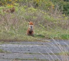 P1010841 Watching Fox