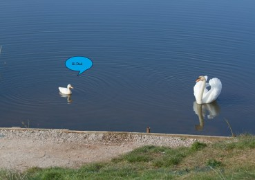 swan and duck 1
