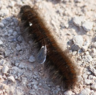 IMG_1738 Fox Moth caterpillar with dew drops on hair