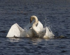 IMG_1739 Male Swan attacking another