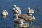 IMG_1919 Eight Cygnets