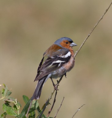 IMG_1922 Male Chaffinch