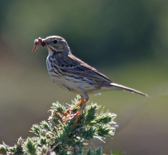IMG_1990 Meadow Pipit with food