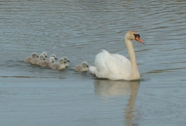 P1010962 Proud Mum and eight Cygnets 25th May 2016