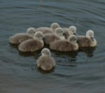 P1010968 Eight Cygnets 25th May 2016