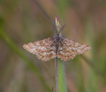 IMG_2072Latticed Heath N End 5th June 2016