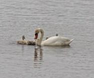 IMG_2179 Swan feeding Cygnets