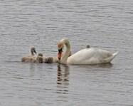IMG_2180 Swan feeding Cygnets