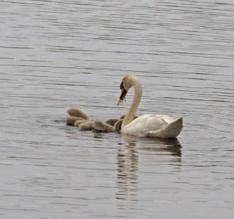 IMG_2182 Swan feeding Cygnets