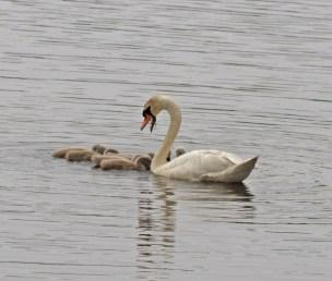 IMG_2184 Swan feeding Cygnets