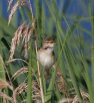 IMG_2236 Reed Warbler singing