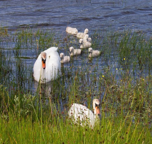 IMG_2368 Down to 7 Cygnets 22nd June 2016