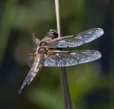 IMG_2390 Black-tailed Skimmer