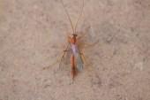IMG_2414 Ichneumon Wasp
